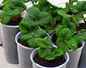 Яку розсаду овочів і квітів садять в березні будинку фото