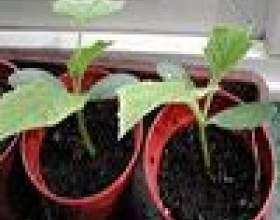 Вирощування розсади огірків в теплиці і в домашніх умовах фото